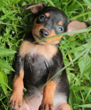 Miniature Pinscher. It is a small dog short hair, smooth a deft and nimble athletic cheerful no more than one foot highHabits are not frightened or startled obey Royalty Free Stock Photo