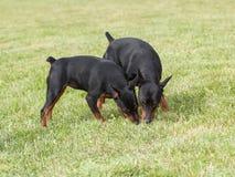 Miniature Pinscher Two Dogs. On green grass stock photography