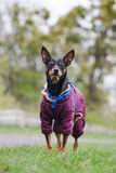 Miniature Pinscher on a walk in the park. Stock Image