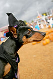 Miniature Pinscher in Witch Costume 5662. A Miniature Pinscher wearing a black witch hat.  Pumpkin patch in background Royalty Free Stock Photo