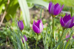 Miniature pointed tulips of purple flowers bloom. In the garden in the spring Stock Image
