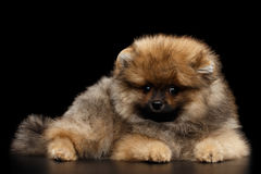 Miniature Pomeranian Spitz puppy on black background. Groomed miniature Pomeranian Spitz puppy Liyng on black isolated background, front view Stock Image