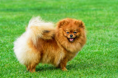 Miniature pomeranian spitz standing on green field. Stock Photography