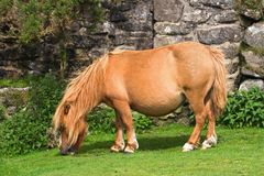 Miniature  Pony. Miniature pony grazing  short grass Royalty Free Stock Photos