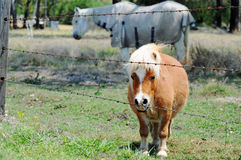 Miniature pony with full standard size pony in paddock Stock Photos