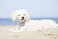 Miniature poodle on beach Stock Image