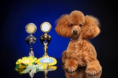 Miniature poodle on dark-blue background stock photography