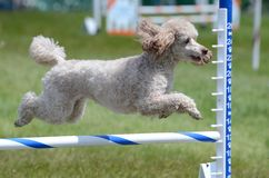 Miniature Poodle at Dog Agility Trial Stock Photos