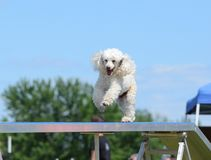 Miniature Poodle at a Dog Agility Trial Royalty Free Stock Images