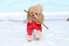 Miniature poodle plays with a dry branch Royalty Free Stock Photography