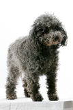 Miniature Poodle Stock Image