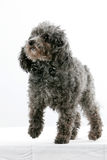 Miniature Poodle Stock Images