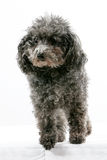 Miniature Poodle Royalty Free Stock Photography