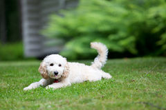 Miniature poodle Stock Photo