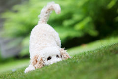 Miniature poodle Stock Photos