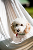 Miniature poodle Royalty Free Stock Images