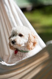 Miniature poodle Royalty Free Stock Photos