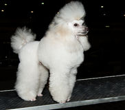 Miniature Poodle looks ahead. The Miniature Poodle looks ahead on the show royalty free stock images
