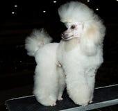 Miniature Poodle looks back. The Miniature Poodle looks back on the show stock photo