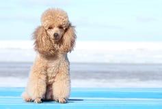 Miniature poodle portrait stock images