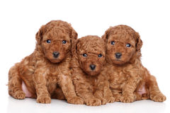 Miniature poodle puppies (30 days) stock image