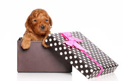 Miniature Poodle Puppy in gift box Royalty Free Stock Photography