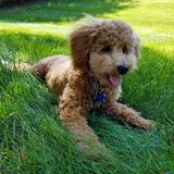 Miniature Poodle Puppy in Grass. Apricot Miniature Poodle Puppy laying on a grassy hill royalty free stock images