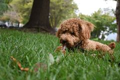 Miniature Poodle Puppy in Grass Chewing on Stick. Apricot Miniature Poodle Puppy laying on a grassy field chewing a stick royalty free stock photo