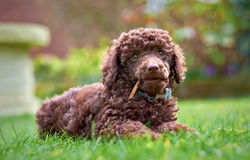 Miniature Poodle Puppy Stock Images