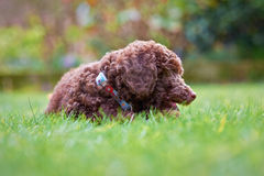 Miniature Poodle Puppy Stock Photo