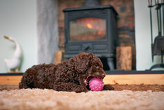 Miniature Poodle Puppy Royalty Free Stock Photography