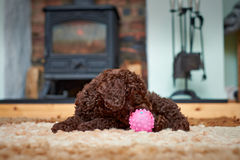 Miniature Poodle Puppy Stock Photography