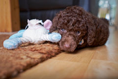 Miniature Poodle Puppy Royalty Free Stock Images