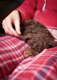 Miniature Poodle Puppy Royalty Free Stock Photo