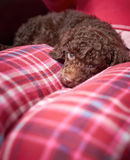 Miniature Poodle Puppy Royalty Free Stock Image