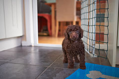 Miniature Poodle Puppy stock photo