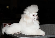 Miniature Poodle seats. The Miniature Poodle seats on the show stock images