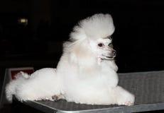 Miniature Poodle seats. Stock Images