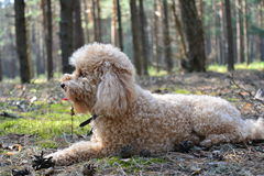 miniature poodle for a walk Stock Photography