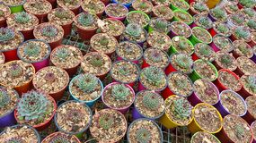 Miniature potted succulents plants royalty free stock photography