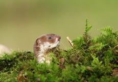 Miniature predator. Weasel mustela nivalis in natural habitat Stock Photos
