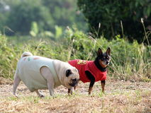 Miniature and pug Royalty Free Stock Images