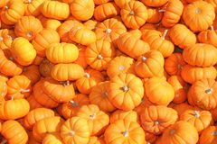 Miniature Pumpkins. Background of orange miniature pumpkins Stock Images