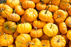 Miniature Pumpkins Royalty Free Stock Image