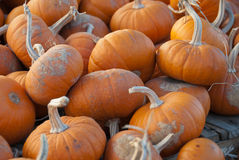 Miniature Pumpkins. Shows a bunch of tiny pumpkins at a pumpkin patch Stock Image