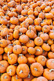 Miniature pumpkins background Royalty Free Stock Image