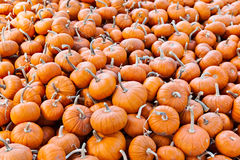 Miniature pumpkins background Royalty Free Stock Images
