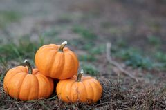 Miniature pumpkins in the field stock photos
