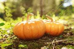 Miniature pumpkins in garden with sunshine Royalty Free Stock Photos