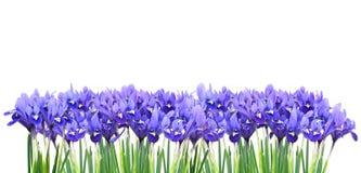 Miniature purple irises. A border of miniature purple irises isolated stock image